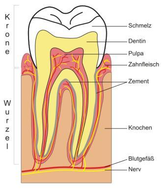 Aufbau des Zahns
